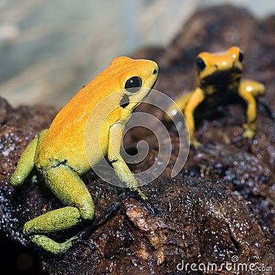 Free Black-legged Poison Frog Royalty Free Stock Images - 13555689