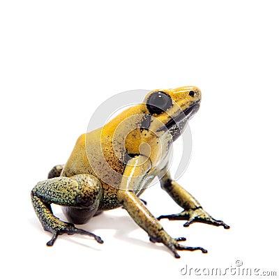 Free Black-legged Poison Frog On White Stock Image - 88132611