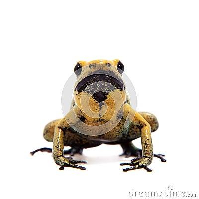 Free Black-legged Poison Frog On White Royalty Free Stock Photos - 88132668