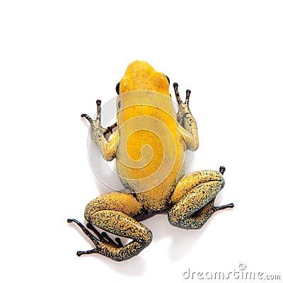 Free Black-legged Poison Frog On White Royalty Free Stock Images - 88133199