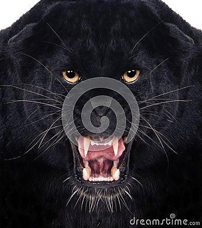 Free Black Leopard Stock Photo - 24001510