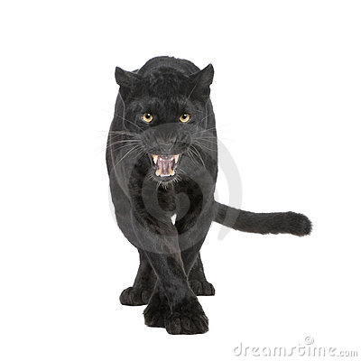 Free Black Leopard (6 Years) Royalty Free Stock Photo - 6856035