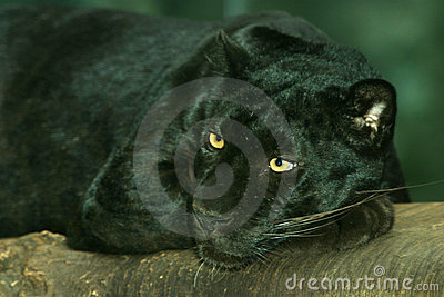 Black Leopard, Panther