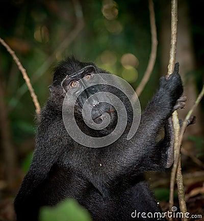 Black macaque, Sulawesi, Indonesia