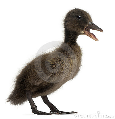 Free Black Mallard Or Wild Duck, Anas Platyrhynchos Royalty Free Stock Images - 21996499