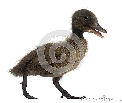 Black Mallard or wild duck, Anas platyrhynchos