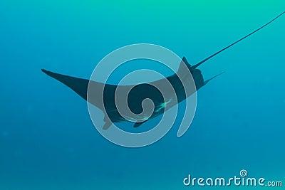 Black manta ray