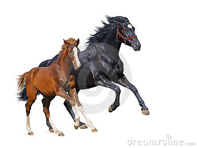 Black mare and sorrel foal gallop