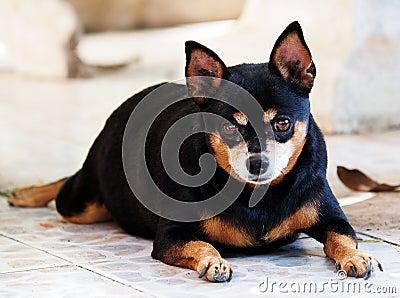 Garage Floor Design >> Black Miniature Pinscher Dog Stock Photo - Image: 49862242