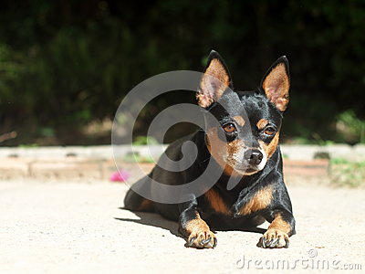 Black miniature pinscher