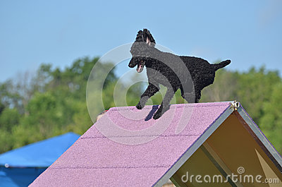 Black Miniature Poodle at a Dog Agility Trial
