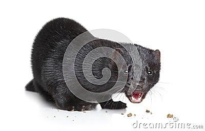 Black mink eat dry food