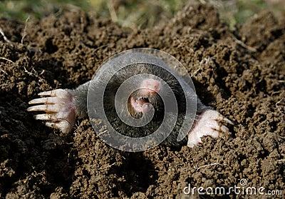 Black mole new