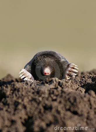Black mole vertical