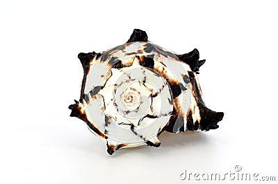 Black murex shell