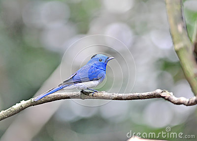 Black-naped Monarch bird