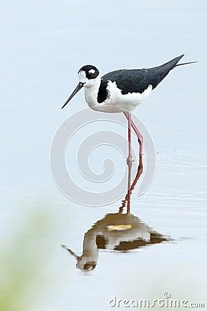 Free Black-necked Stilt - Everglades National Park Royalty Free Stock Photos - 29249538