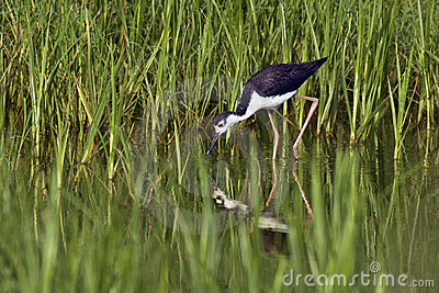 Black-Necked Stilt Foraging