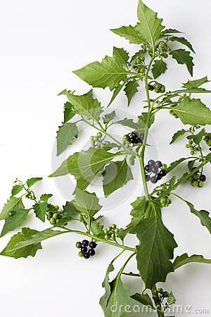 Free Black Nightshade, Blossoms, Fruits, Leaves, Poisonous Plant Royalty Free Stock Photos - 60052938