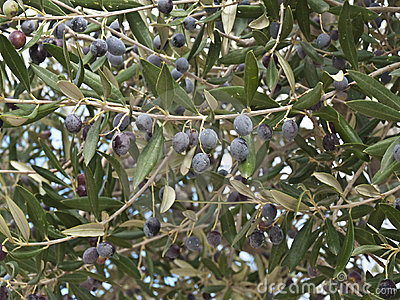 Black olive tree royalty free stock image image 17280076 for What to plant under olive trees