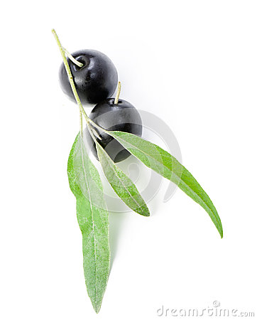 Black olives on branch it is isolated on white