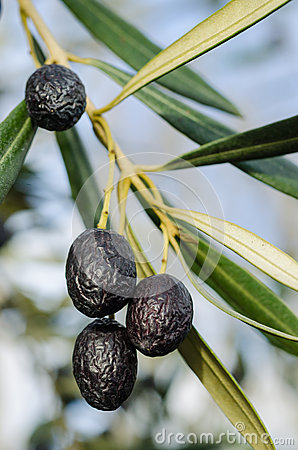 Black olives on Oil tree