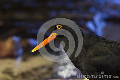 Black oystercatcher bird with orange beak
