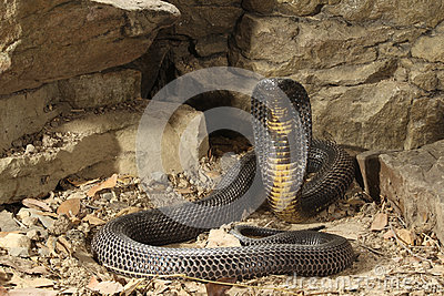 Black Pakistan Cobra