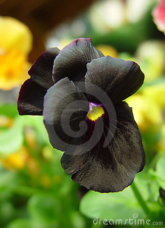 Free Black Pansy Stock Photo - 484340