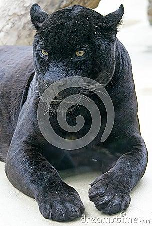 Free Black Panther 1 Royalty Free Stock Image - 2633376