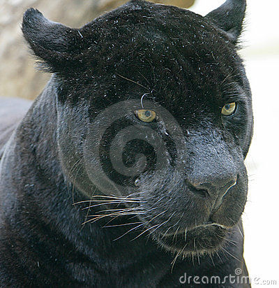 Free Black Panther 2 Stock Photography - 2633462