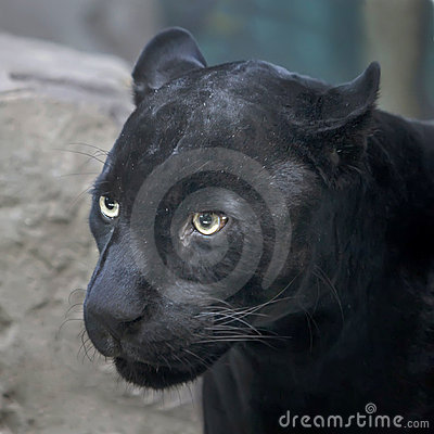 Free Black Panther Royalty Free Stock Photography - 23185367
