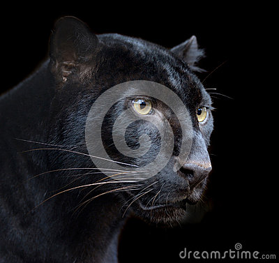 Free Black Panther Stock Images - 29964744