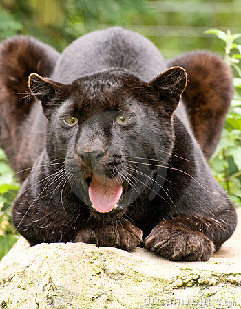 Free Black Panther Growling Royalty Free Stock Image - 10463886