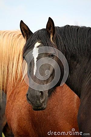 Black percheron stallion portrait in the herd