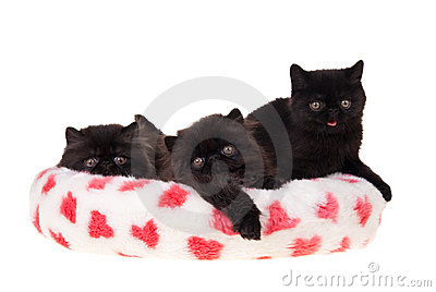 Black persian kittens valentine isolated