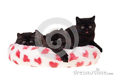 Black persian kittens valentine isolated