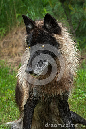 Free Black Phase Grey Wolf (Canis Lupus) Sits Looking Left Royalty Free Stock Photography - 59481697