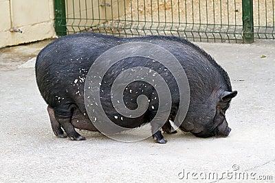 Black pig farm