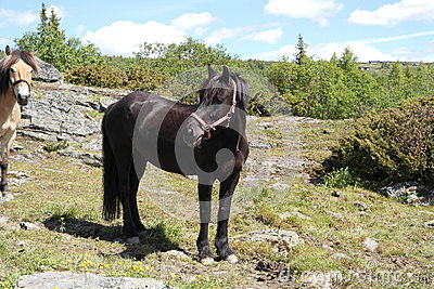 Black pony on a field