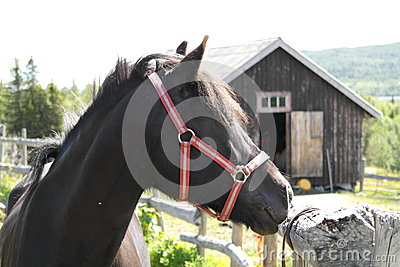 Black pony/horse portrait