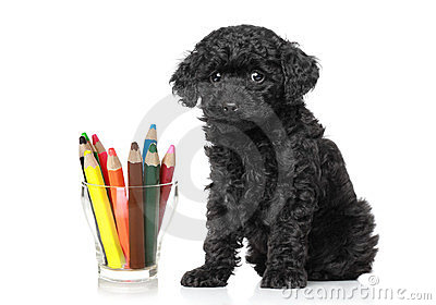 Black poodle puppy near colored pencils