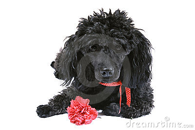 Black poodle with red carnation