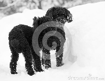 Black poodles in the snow.