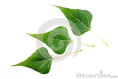 Black Poplar Leaves