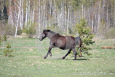 Black pregnant horse galloping at the field