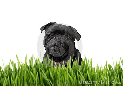 Black pug behind grass
