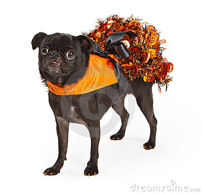 Black Pug Dog wearing orange Halloween dress