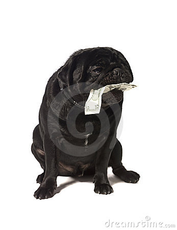Black pug with dollar bills in the mouth