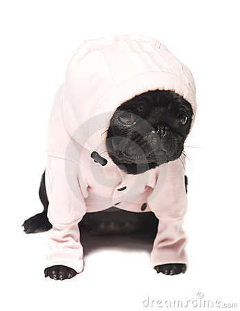 Free Black Pug Dressed In A Pink Hoodie Stock Image - 11255221